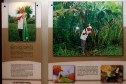 トキヤ草の栽培・採取風景